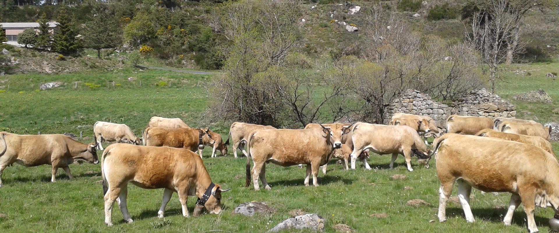 Vue d'un troupeau de vache dans les alentours du gîte Lou Saltret entre Cévennes et Aubrac au cœur de la Lozère, en Margeride